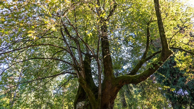 Riesiger alter baum bedeckt mit moos, arboretum in suchum, abchasien