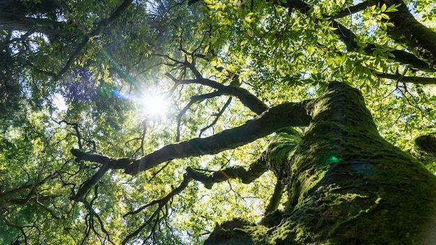 Riesiger alter baum bedeckt mit moos im sonnenschein, arboretum in suchum, abchasien.