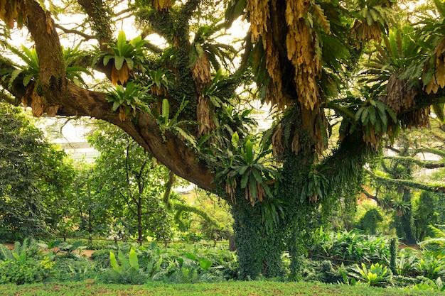 Riesiger ausbreitungsbaum im grünen tropischen park in singapur