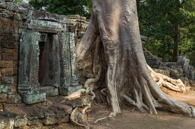 Riesiger baum, der einen alten tempel in siem reap bedeckt