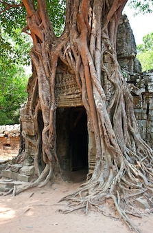 Riesiger baum wächst über den alten ruinen des ta prohm tempels in angkor wat, siem reap, kambodscha