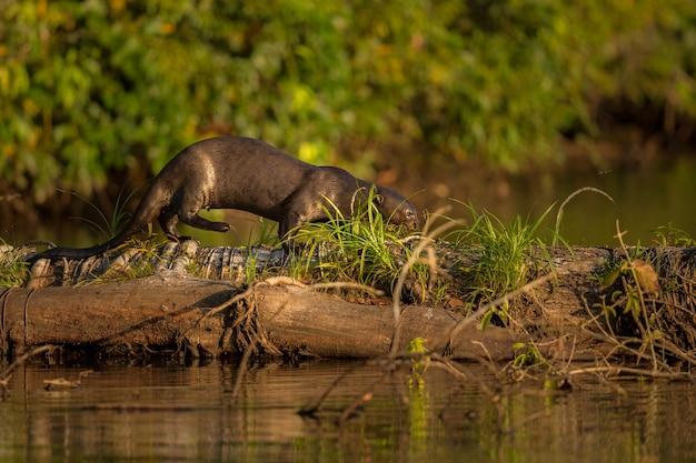 Riesiger flussotter im naturlebensraum wilde brasilianische brasilianische tierwelt