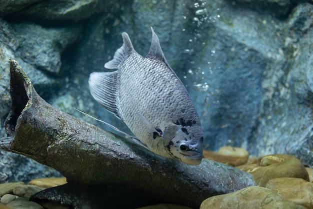 Riesiger gourami-fisch am fluss thailand