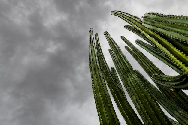 Riesiger kaktus vor dramatisch bewölktem himmel