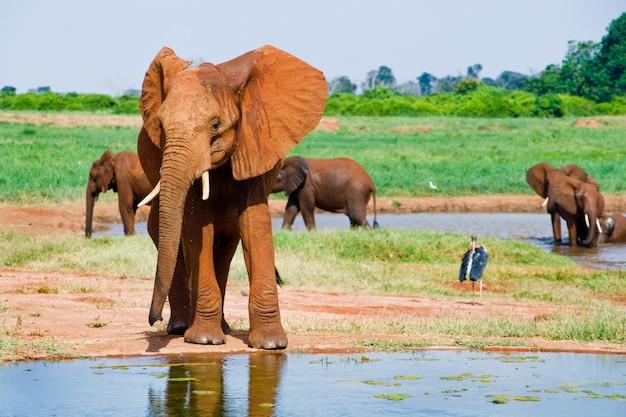 Riesiger männlicher afrikanischer elefant