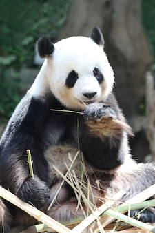 Riesiger pandabär, der trockene bambusnahaufnahme isst