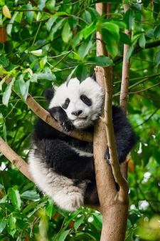 Riesiger pandabär in china Premium Fotos