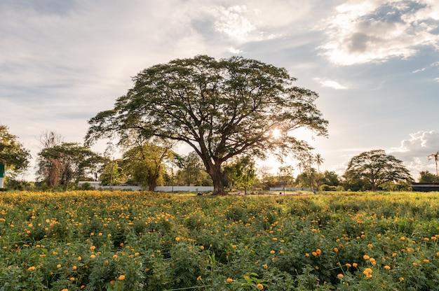 Riesiger regenbaum im blütenringelblumengarten am abend