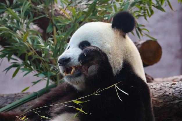 Riesiger schwarzweiss-panda knabbert an bambus.