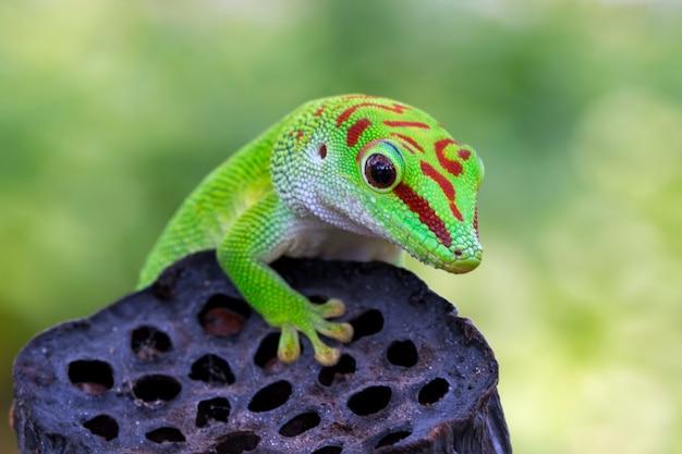 Riesiger taggecko der schönen farbe madagaskars auf trockener knospentiernahaufnahme