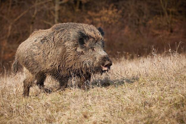 Riesiges wildschwein mit offenem maul auf einer wiese mit trockenem gras