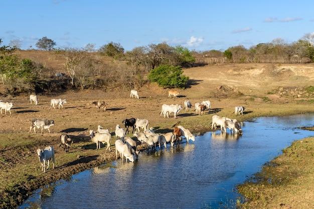 Rinder auf der flucht vor dürre und trinkwasser im pirari-fluss jacarau paraiba brasilien