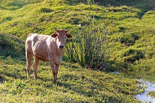 Rinder auf der weide, neben einem bach