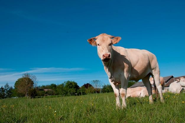Rinder auf einem feld