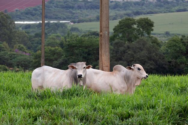 Rinder der nelore-rasse auf der weide von hohem gras