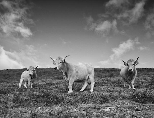 Rinder. drei kühe. schwarzweiss-bild