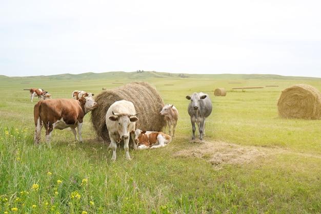 Rinder und kälber grasen auf dem feld essen heu und silage