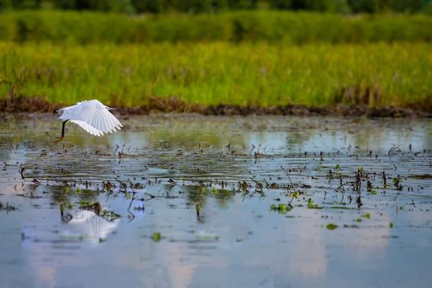 Rinderreiher (bubulcus ibis). reisanbau mit rinderreiher