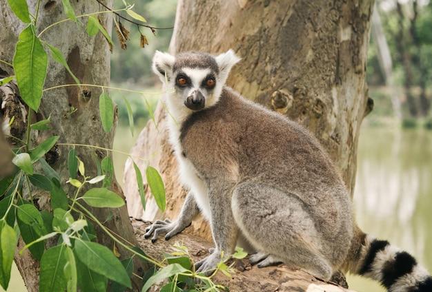 Ring-tailed lemur, der auf dem baum sitzt