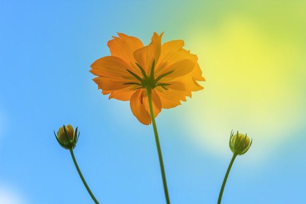 Ringelblume blüht auf hintergrund des blauen himmels im sommergarten thailand