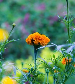 Ringelblume-blume Premium Fotos