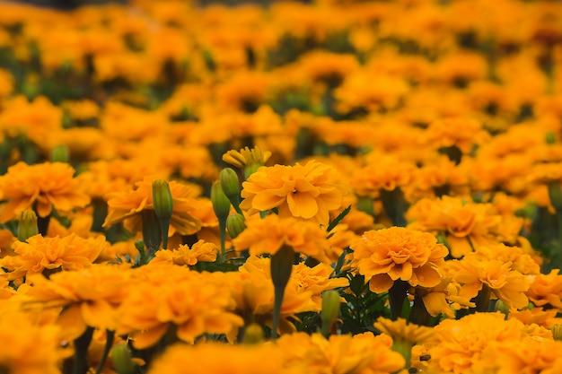 Ringelblume, ein blumenstrauß, der zum pflanzen beliebt ist, schnittblumen zum verkauf.