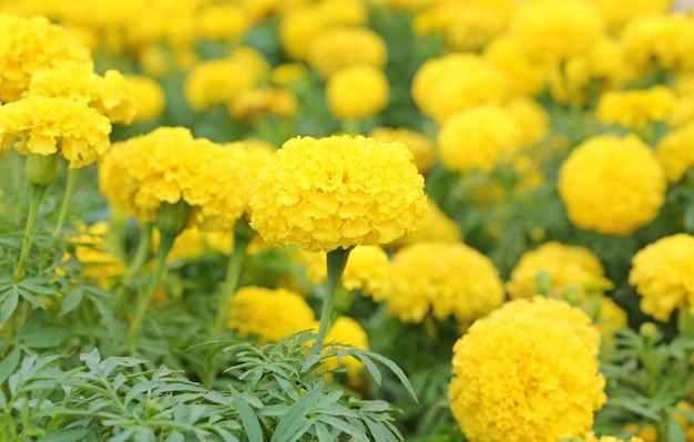 Ringelblume im garten thailand