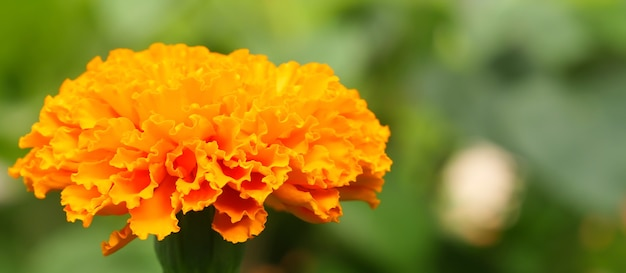 Ringelblume ist eine blume, mit der die thailänder sehr beliebt sind. tagetes erecta gebräuchlicher name
