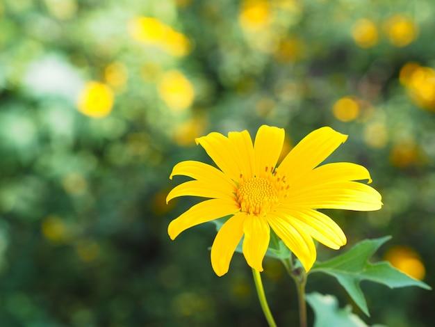 Ringelblume, mexikanische sonnenblume, nitobe-chrysantheme (tithonia diversifolia)