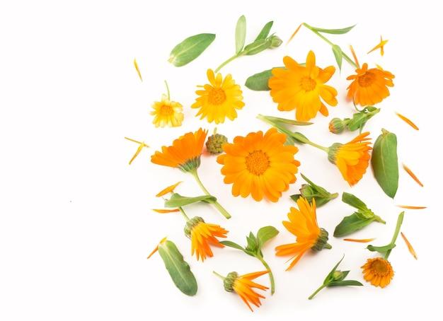 Ringelblume. ringelblumenblume lokalisiert auf weißem hintergrund mit kopienraum für ihren text.