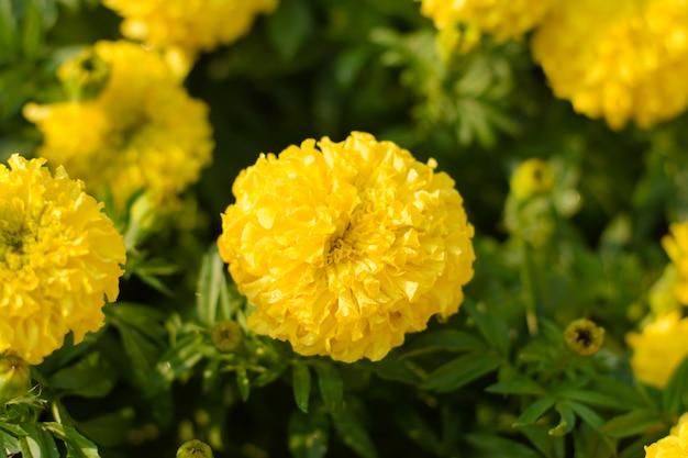 Ringelblumen blühen