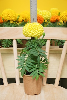 Ringelblumen gelbe farbe (tagetes erecta, mexikanische ringelblume, aztekische ringelblume, afrikanische ringelblume), ringelblumentopfpflanze