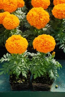 Ringelblumen orange farbe (tagetes erecta, mexikanische ringelblume, aztekische ringelblume, afrikanische ringelblume), ringelblumentopfpflanze mit wurzeln