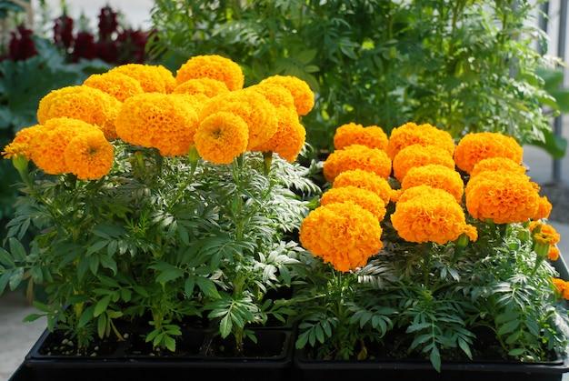Ringelblumen orange farbe (tagetes erecta, mexikanische ringelblume, aztekische ringelblume, afrikanische ringelblume), ringelblumentopfpflanze
