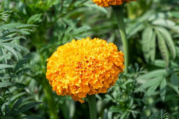 Ringelblumen tagetes erecta, mexikanische ringelblume, aztekische ringelblume, afrikanische ringelblume im garten