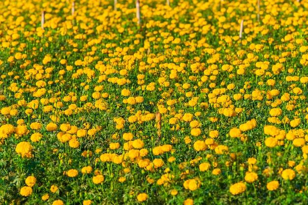 Ringelblumenblume im bauernhof
