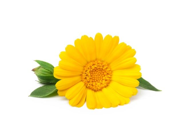 Ringelblumenblume mit blättern lokalisiert auf weiß