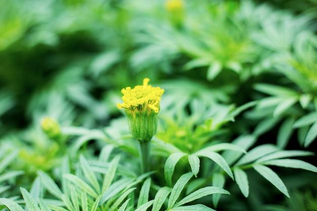 Ringelblumenblume mit sonnenlicht.