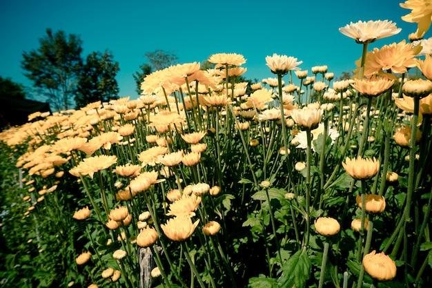 Ringelblumenblume oder calendula mit blatt auf grünem natürlichem sommerhintergrund - calendulablumen-feldanlage