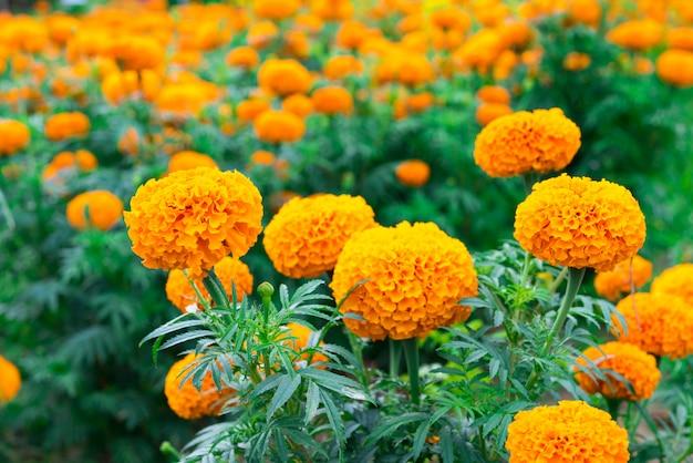 Ringelblumenblume