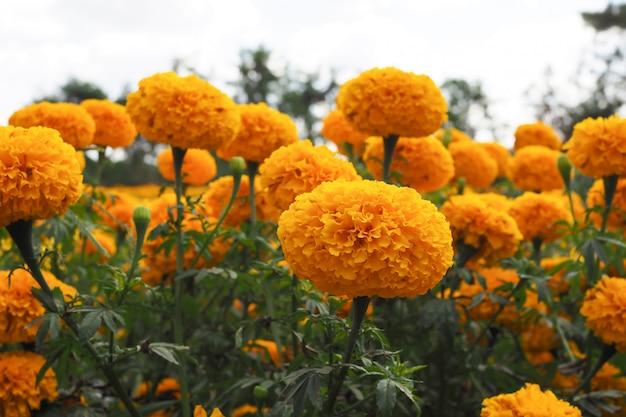 Ringelblumenblumen auf der wiese im blumengarten