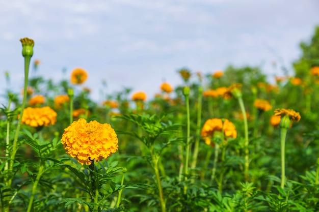 Ringelblumenfelder am morgen