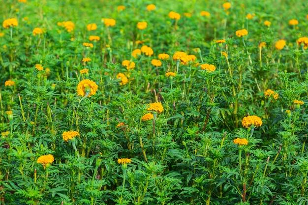 Ringelblumenfelder am morgen Premium Fotos