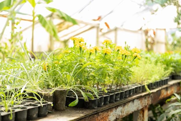 Ringelblumensämlinge in kleinen plastiktöpfen im gewächshaus. verkauf von pflanzen, setzlingen und blumen für den hausgartenbau.