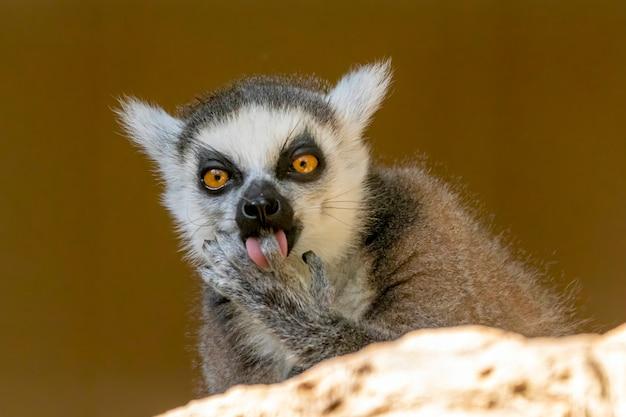 Ringschwanz lemur