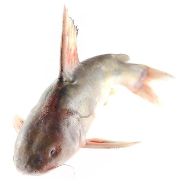 Rita-fisch aus südasien auf weißem hintergrund