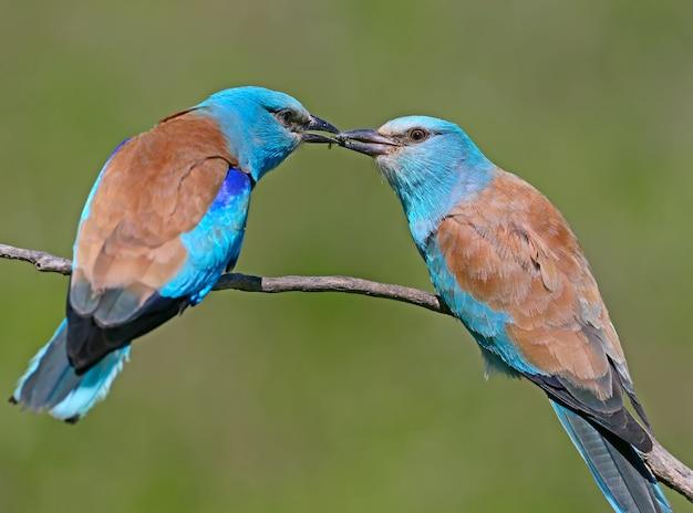 Rituelle fütterung durch eine männliche europäische walze eines weibchens während der paarungszeit. beide vögel sitzen auf einem ast auf einem verschwommenen grünen hintergrund