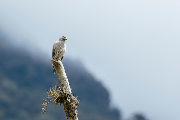 Roadside hawk (rupornis magnirostris), ein imposantes exemplar von busardo, das auf dem baumstamm thront und seine beute beobachtet