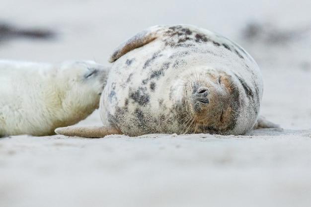 Robbe am strand auf der düneninsel in der nähe von helgoland
