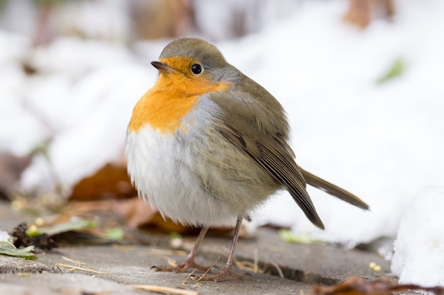 Robin auf einem ast